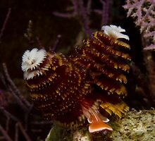Christmas Tree Worm by Todd Krebs