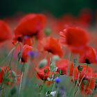 ♥ ♥ ♥ ♥ series . I just pity year and beautiful dancing poppy flowers.   A mnie jet szkoda lata. Andre Brown Sugar This image Has Been S O L D .  Fav 41 Views:  : 4601 .  Buy what you like! Thx! by © Andrzej Goszcz,M.D. Ph.D