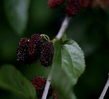 The Mulberry branch by BecQuist