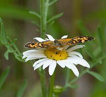 Butterfly on Daisy by marilynwood
