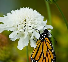 White Flower with Monarch by marilynwood