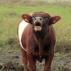 Dutch Belted Bull by Robert Abraham