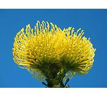 Golden Protea Photographic Print