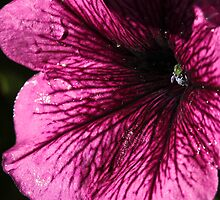 Passionate Petunia #4 by Ken McElroy