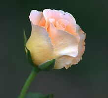 Peach Rose by Brad Sumner