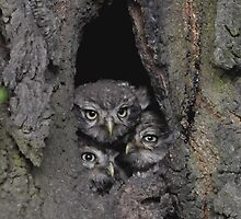 3 little little owls by Grandalf