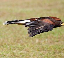 Hawk In Flight by imagetj