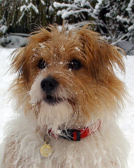 Snow Terrier 2 by Paul Holman