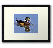 Wood Duck - Aix sponsa Framed Print