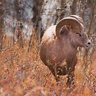 Big Horn Sheep 1 by Kerri Gallagher