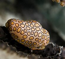 Flamingo Tongue by Todd Krebs