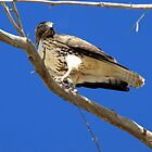 Red-tailed Hawk ~ Juvenille (mine) by Kimberly P-Chadwick