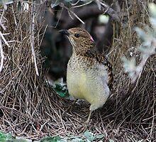 Spotted Bowerbird by EnviroKey