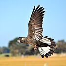 Black Cockatoo In Flight Busselton Western Australia  by Coralie Plozza