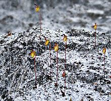 Feild of Flying Duck Orchids, Paracaleana nigrita by Julia Harwood