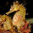 Swansea Seahorse x 2 by Matt-Dowse