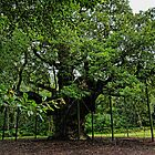 The Major Oak by Ryan Davison Crisp