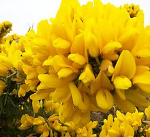 Yellow Gorse by Pigglepum