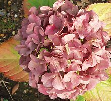 Autumn Hydrangea by Visuddhi