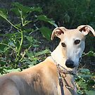 Galgo Grady by homesick