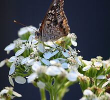 Butterfly on white flowers. by Audrey Woods