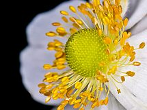 Japenese Anemone by Gareth Jones