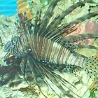 Lion Fish by dmcfadden