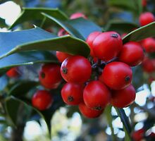Holly berries by Poete100