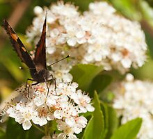 Small Tortoiseshell Collecting Nectar by kernuak