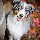 Ripley the Aussie Shepherd by ruthlessphotos