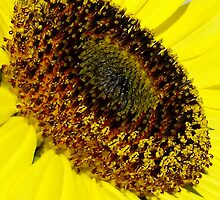 sunflower in the sun....life by the drop by jammingene