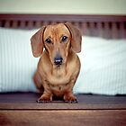 Ruby the miniature Dachshund by ruthlessphotos