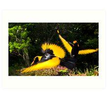 Male Regent Bower Birds Art Print