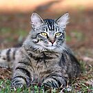 Tabby Cat by DebbieCHayes
