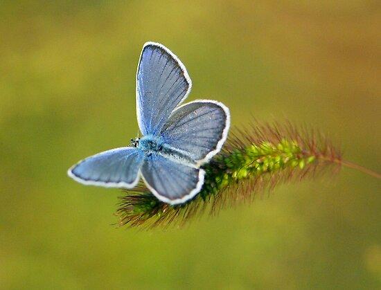grey butterfly by davvi