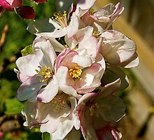 Apple blossom by Gerard Rotse