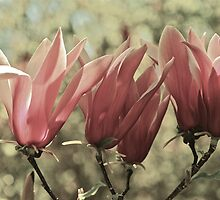 Magnolias in Sunday Sun by Briony  Williams Photography
