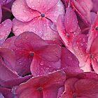 Hydrangea by Susan Brown
