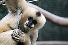 White-Cheeked Gibbon by Leanne Allen