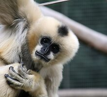 White-Cheeked Gibbon by Leanne Allen