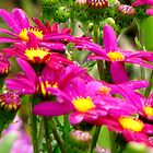 Perfect Pink Daisies by SuziTC