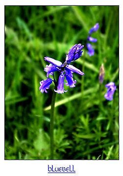 Bluebell #2 by Trevor Kersley