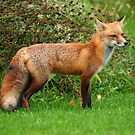 Red Fox by Raider6569