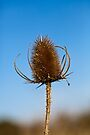 Teasel by Ray Clarke