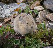 Mountain Pika by Reese Ferrier
