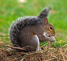 Squirrel in London's Regent Park by neil270