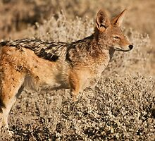 Etosha jackal pose by Owed to Nature