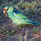 Australian Ringneck &quot;Mallee Parrot&quot; by Robert Elliott