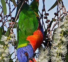 Rainbow Lorikeet ~ Wrong Way Up   by Robert Elliott