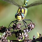 Migrant Hawker (Aeshna mixta) 2 by larry flewers
